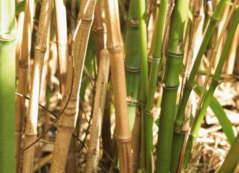 Plantar Bambu